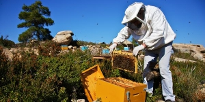 beekeeper pulls a section of honeycomb from a honey bee hive